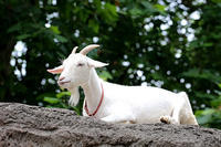 ヤギの餌やりタイム - 動物園放浪記