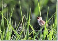 帰って来た酔っぱらい(苦笑)オオヨシキリの鳴き声、賑やかに - THE LIFE OF BIRDS --- 野鳥つれづれ記
