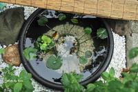メダカ池とギボウシ - 晴れ時々そよ風