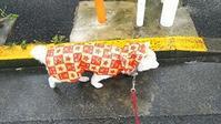 めるちゃんとお散歩 - 柴犬 はなとわ日記
