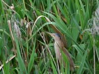 ヨシゴイ - ごっちの鳥日記