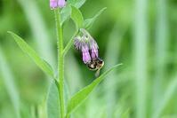 あやめ公園にて(4)ハチ - へっぽこな・・