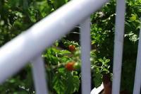 ミニトマト - day pHoto