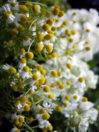 カモミールの切花を初めて市場で見ました。2017/06/29。 - 札幌 花屋 meLL flowers