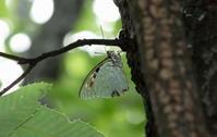 2017 梅雨の晴れ間 - 紀州里山の蝶たち