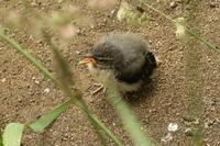 キセキレイのチビちゃん - 今日の鳥さんⅡ