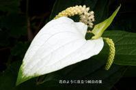 【半夏生】 -  ★ 野草デジカメ日記★