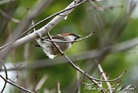 北の大地 遠征1日目 「ニュウナイスズメ」さん~Σ^) - ケンケン&ミントの鳥撮りLifeⅡ