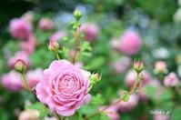 バラ ジュビリーセレブレーション - 今日の小さなシアワセ