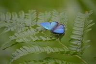 ジョウザンミドリシジミ 7月2日 南信にて - 超蝶