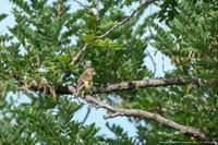 カワラヒワの幼鳥 - Slow Life is Busy