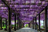 藤棚の美(鳥羽水環境保全センター) - 花景色-K.W.C. PhotoBlog