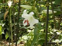 カサブランカが咲いて・・・想い出すこと - 百寿者と一緒の暮らし