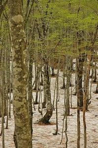 まだ早春のブナの森へ - 空ヤ畑ノコトバカリ