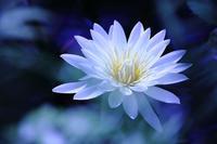 water lily - 写真の記憶