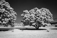 2017年7月4日 白く輝く樹のあるサバンナ - Silver Oblivion