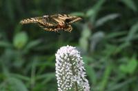 ■ アゲハ 3種   17.7.3   (キアゲハ、モンキアゲハ、アオスジアゲハ) - 舞岡公園の自然2