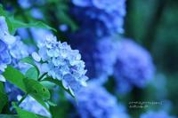 紫陽花と。おたまじゃくしと。 - 一瞬をみつめて