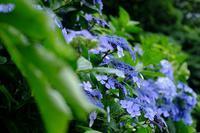 山の紫陽花 - きずなの家