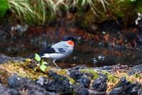 富士山麓にて:ウソ - 武蔵野の野鳥