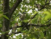 オナガのヒナが、、 - ぶらり探鳥