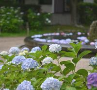 池田 久安寺のお池に浮かぶ紫陽花 - my story***