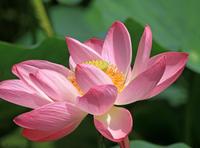 蓮の花 - イーハトーブ・ガーデン