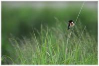 久し振りの野鳥(ノビタキ)撮影 - コバチャンのBLOG