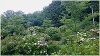 勝名寺の紫陽花 - モコモコな毎日