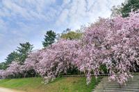 京都の桜2017 桜満開の半木の道 - 花景色-K.W.C. PhotoBlog