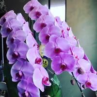胡蝶蘭の花 by shuzo - 名古屋の花屋BIANCA(SHUZO)のブログ