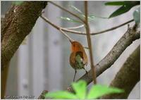 コマドリ 野鳥園 - 野鳥の素顔 <野鳥と・・・他、日々の出来事>