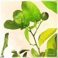 レモンの木  - Arys style  「整える」くらし
