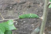 ■ アカボシゴマダラ 幼虫   17.7.4 - 舞岡公園の自然2