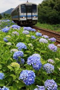紫陽花 - かにさんの横歩き散歩日記