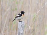霧ケ峰にて早朝のノビタキ - コーヒー党の野鳥と自然 パート2