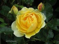 うちのバラ - Photo Album