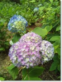 紫陽花、咲き始め。 - komorebi*