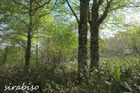 新緑輝くブナの森 - 小さな森の写真館 (a small forest story)