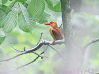 Ruddy kingfisher - のんびり行こうよ人生!