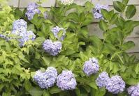 「ギボウシ」の花開花中 - 【出逢いの花々】
