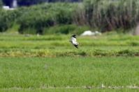 ケリの飛翔 - 私の鳥撮り散歩