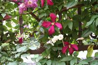 クレマチスの季節 - kekukoの薔薇の庭