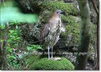 主に日本で繁殖( 夏鳥 )冬季になるとフィリピン方面へ南下 - THE LIFE OF BIRDS --- 野鳥つれづれ記