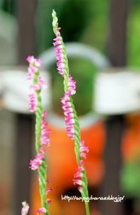 螺旋の階段、ねじり花 - 花と風の薫り