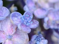 渦紫陽花 他 - 南都☆花模様