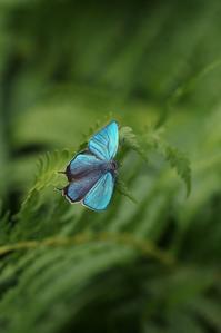 ジョウザンミドリのテリ張 - 蝶超天国