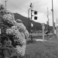 線路横に咲く紫陽花。 - SunsetLine