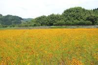 ハルシャギクの花畑♪ - happy-cafe*vol.2
