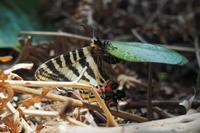 本日の1枚 2017年4月16日 12時05分 「ギフチョウの産卵-富山市」 - 安曇野の蝶と自然